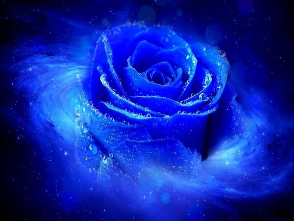 Belle Image Rose Bleu la rose bleue